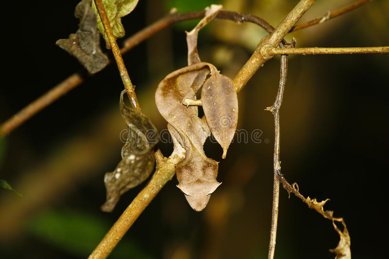 Satanic Leaf-tailed Gecko (Uroplatus phantasticus) in Ranomafana rain forest in eastern Madagascar. Red eyes and horns above eyes. Earn this supremely stock photography