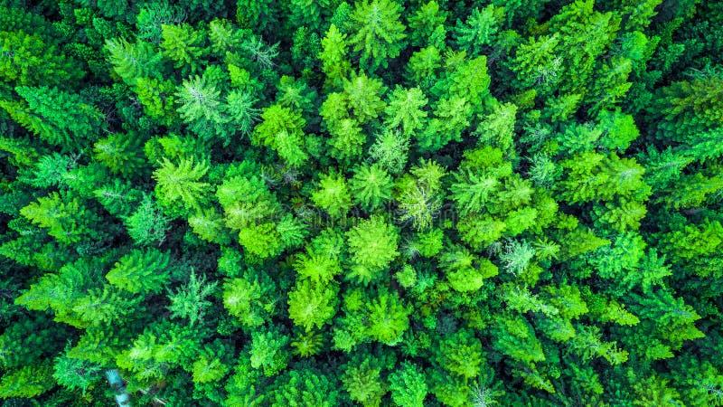 Satellietbeeld op de Californische sequoia Whakarewarewa Forest Rotorua, Nieuw Zeeland stock fotografie
