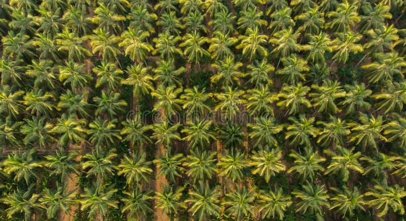 Satellietbeeld van kokosnotenlandbouwbedrijf kokospalmen keurig worden de gericht op kweken banaan die in tussenbouw royalty-vrije stock afbeeldingen