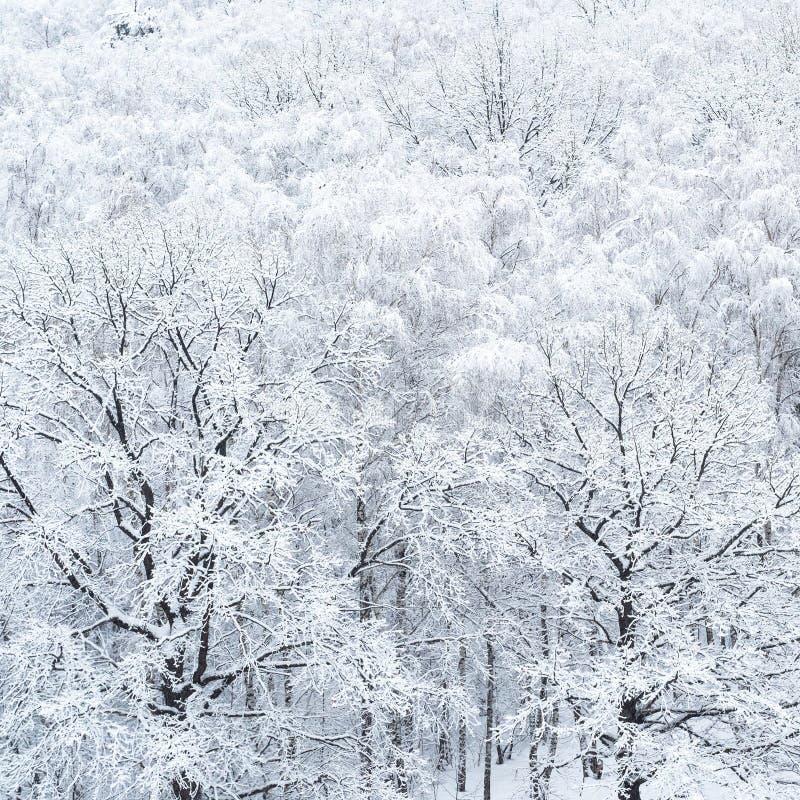 Satellietbeeld van snow-covered eiken bomen in bosje stock foto