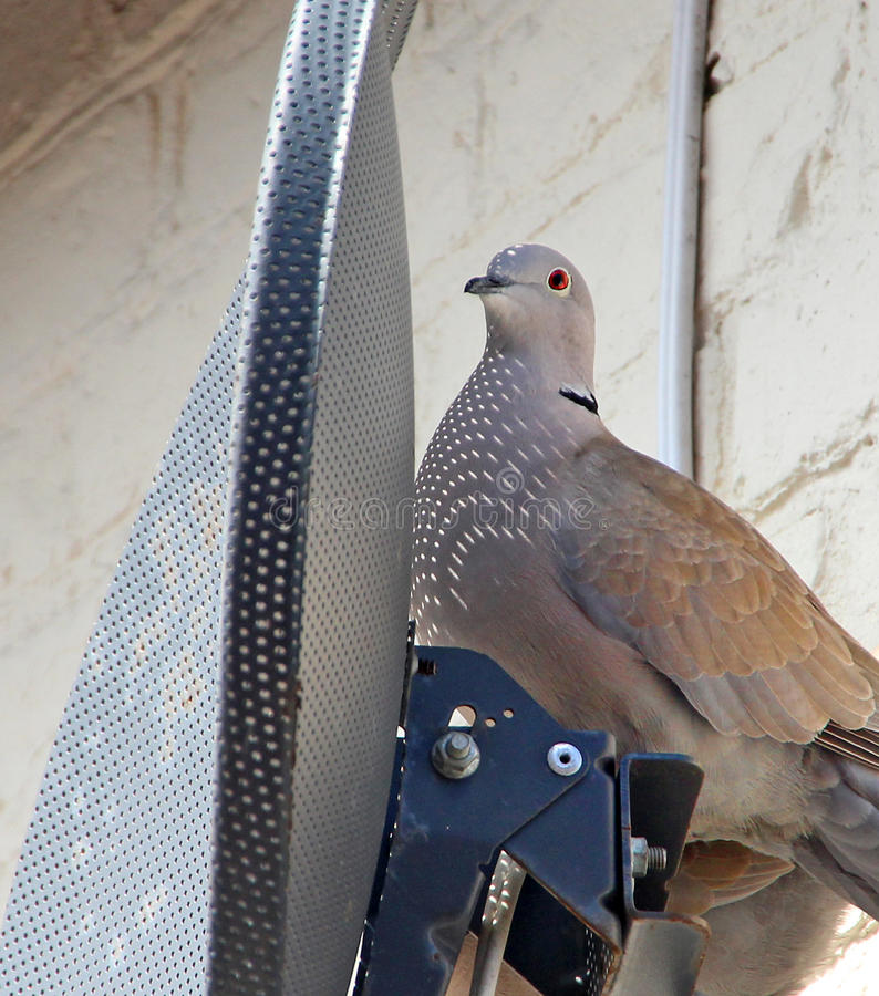 Satellite bird nesting. Photo of a collared dove nesting behing a tv satellite dish with the sunlight filtering through the perforated holes of the dish onto the royalty free stock photography