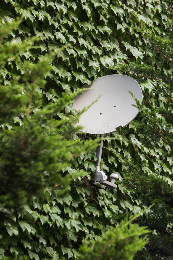 Satellite dish mounted on the wall. Ivy growing on a wall stock photo