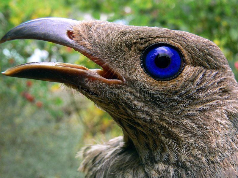 Satijn Bowerbird - Wijfje royalty-vrije stock fotografie