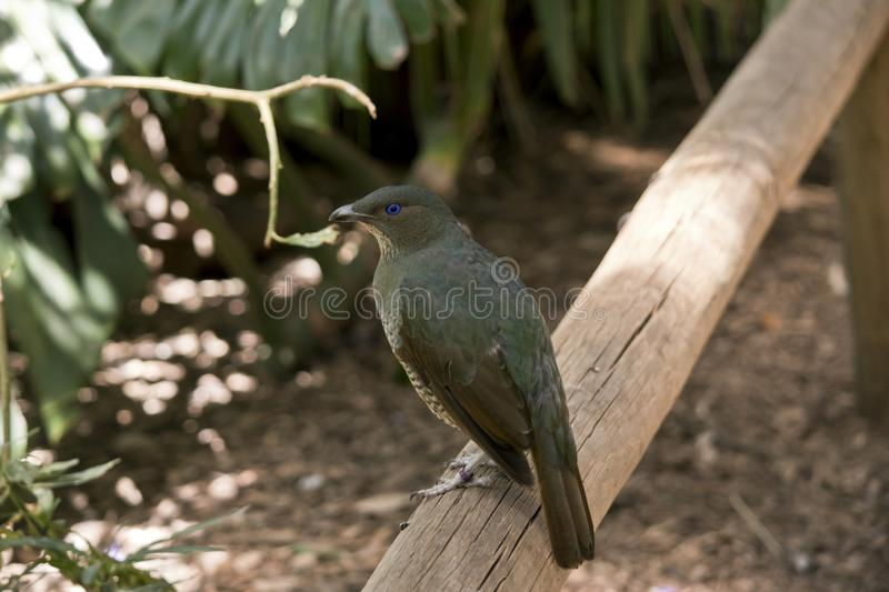 Satin bower bird. The satin bower bird is perched on a rail stock photography
