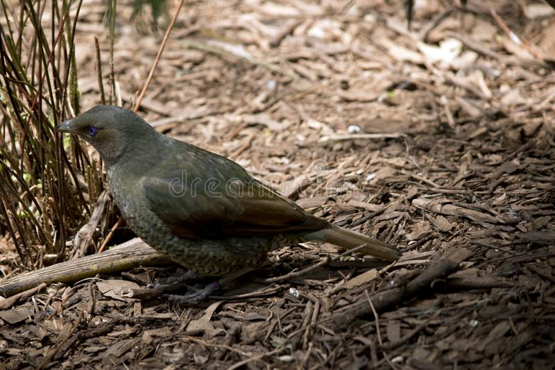 Satin bower bird. The satin bower bird is searching for food on the ground royalty free stock photography