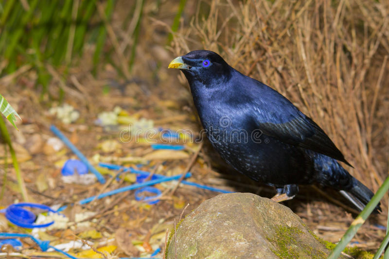 Satin Bowerbird at his bower. Male Satin Bowerbird tending his bower with its collection of found blue objects. Lamington National Park, Queensland stock photography