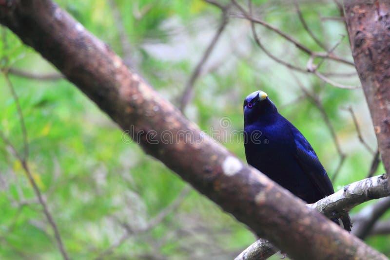 Satin bowerbird. (Ptilonorhynchus violaceus) male in Australia stock image