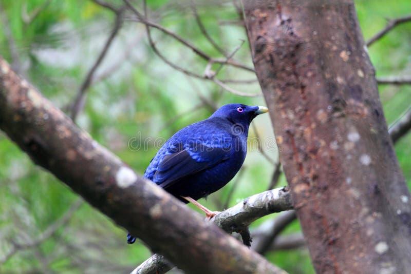 Satin bowerbird. (Ptilonorhynchus violaceus) male in Australia royalty free stock image