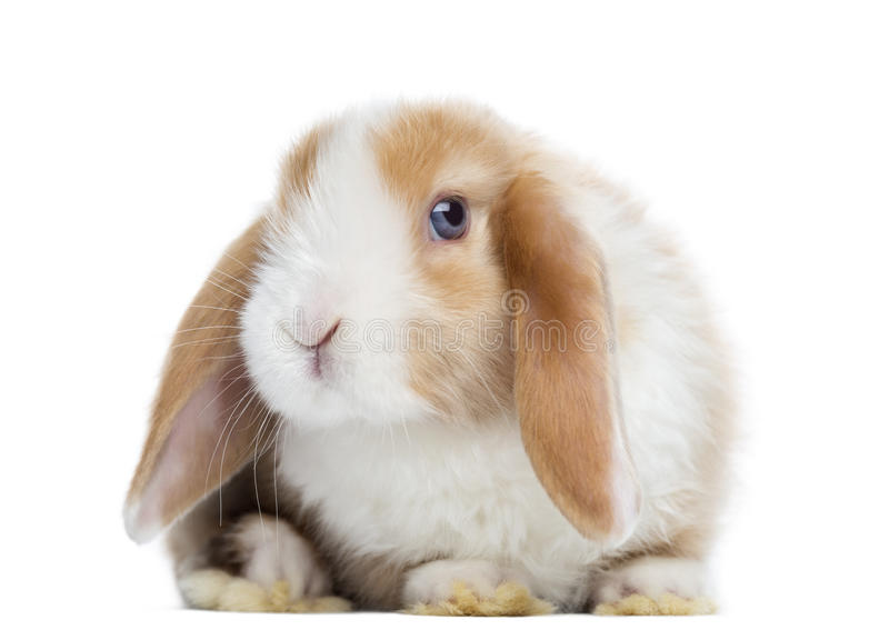Satin Mini Lop rabbit facing, looking at the camera, isolated royalty free stock images