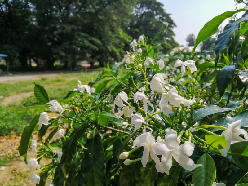 Satinwood de Andaman foto de archivo libre de regalías