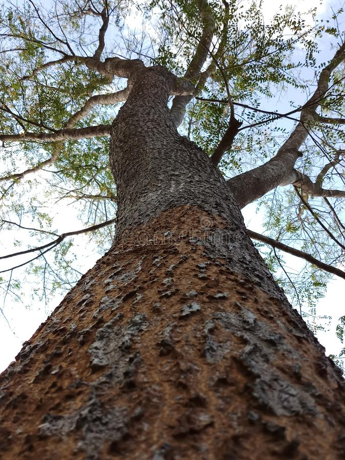 Satinwood tree in Sri Lanka. Satinwood is highly valuable tree for people . It has grate economic value because of its hardness. But we should never cut down royalty free stock image