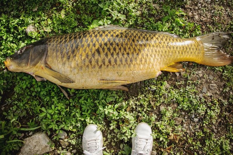 Satisfaction - fiishing the biggest carp. Fish royalty free stock photography
