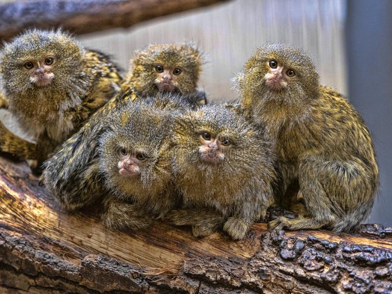 Satisfied family with cubs, Pygmy marmoset, Callithrix pygmaea niveiventris stock image