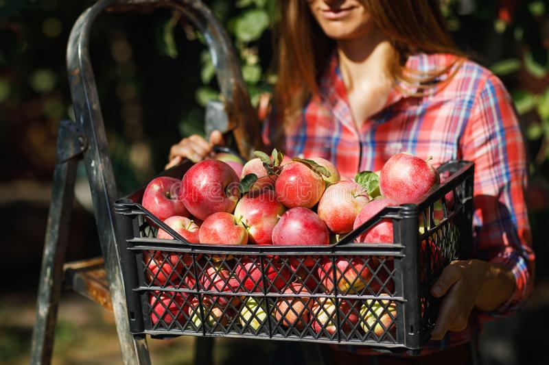 A satisfied farmer holds a crate full of ripe apples after harvest royalty free stock photo