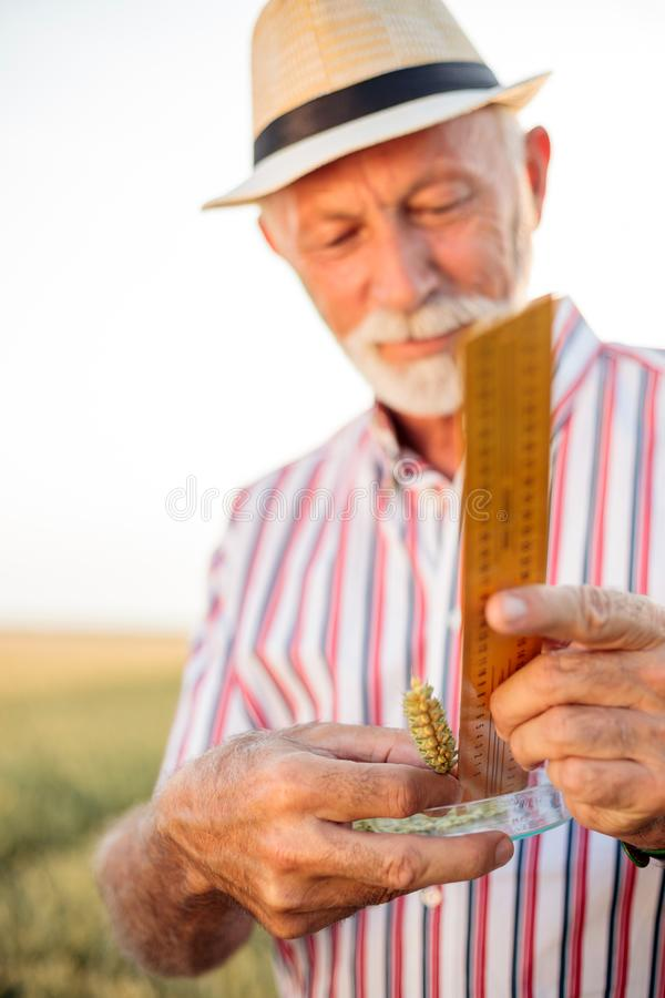 Satisfied gray haired senior agronomist or farmer measuring wheat beads before the harvest royalty free stock photography