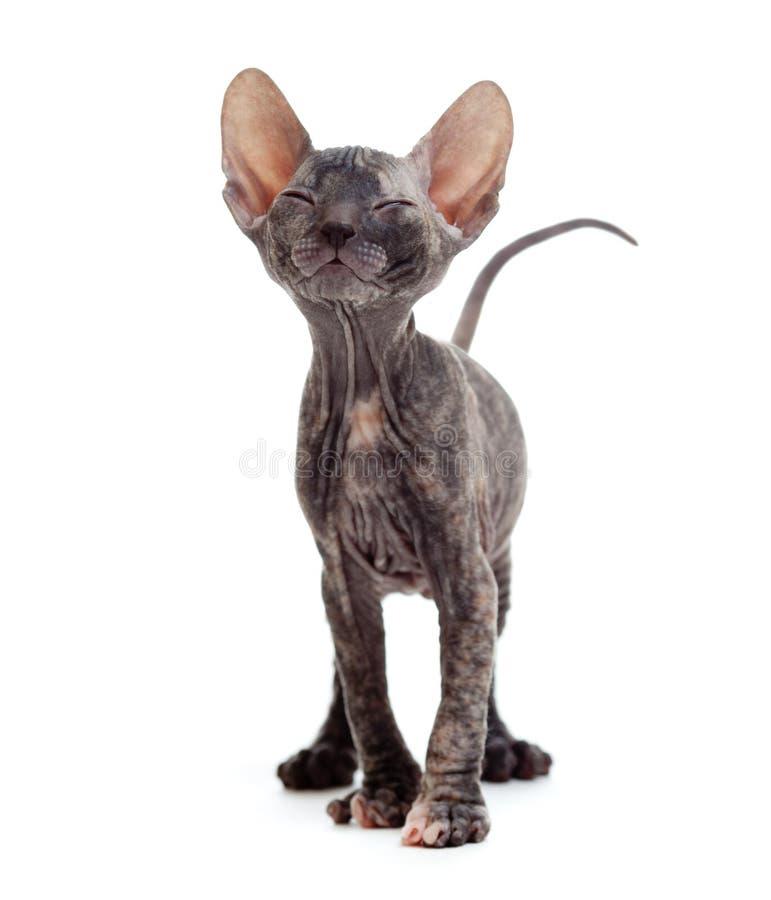 Satisfied hairless sphynx kitten stock photography