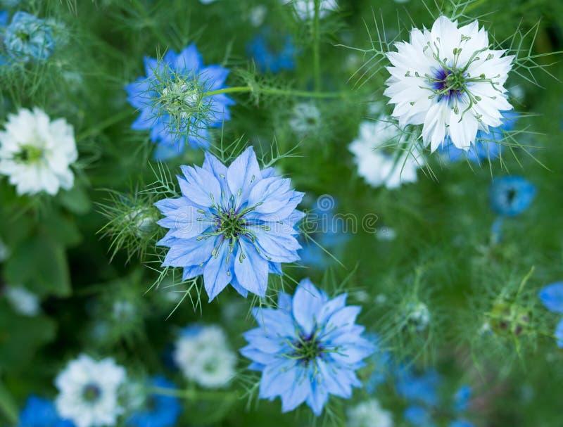 Sativa λουλούδια Nigella - χορτάρι, μπλε άσπρα ή ρόδινα λουλούδια στοκ εικόνα με δικαίωμα ελεύθερης χρήσης