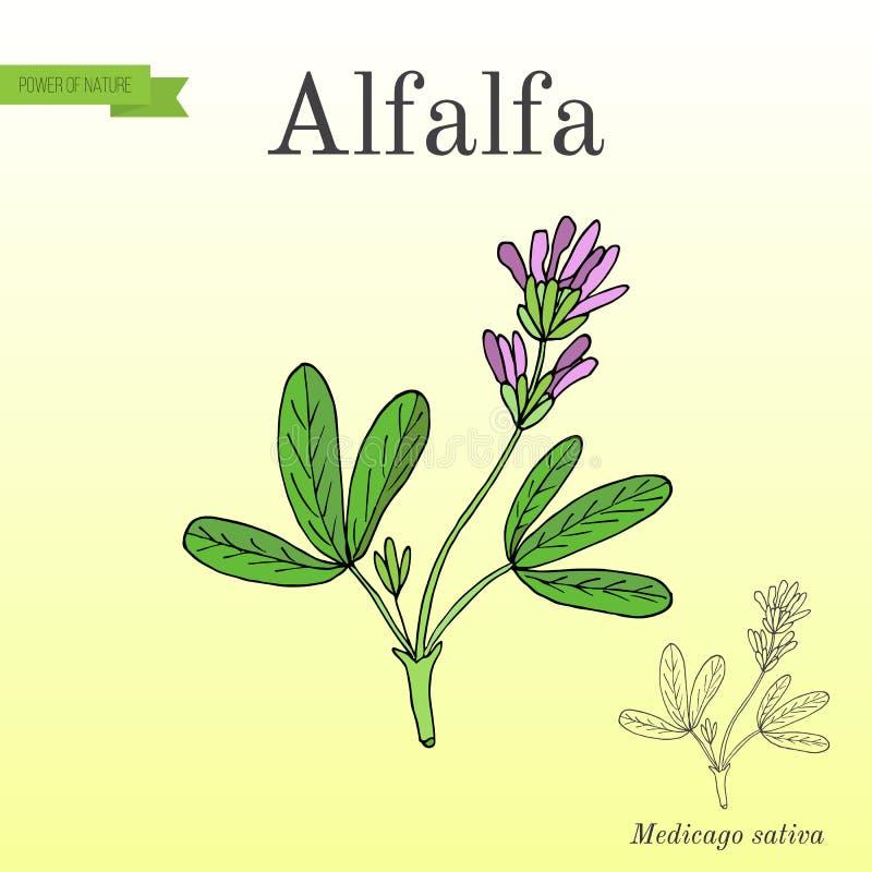 Sativa alfalfaMedicago vektor illustrationer