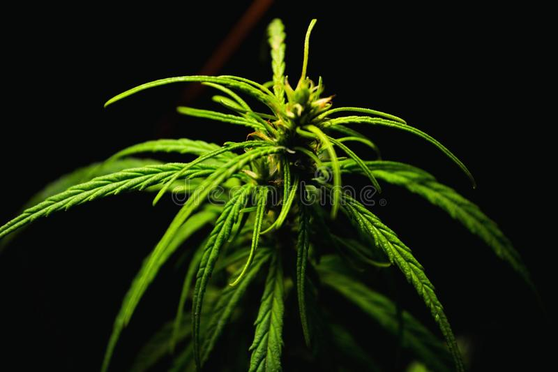 Sativa cannabis stock afbeeldingen
