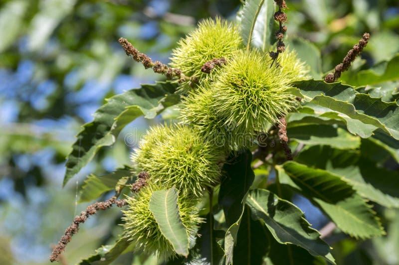 Sativa Castanea, söta kastanjer som döljas i taggiga cupules, smakliga brunaktiga tokiga marronfrukter, filialer med sidor royaltyfria foton