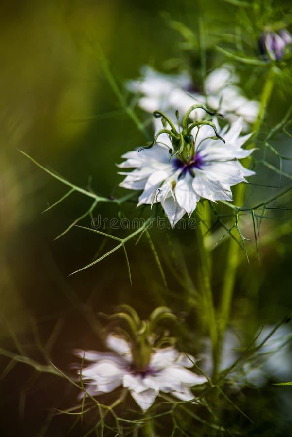 Sativa Nigella royalty-vrije stock afbeelding