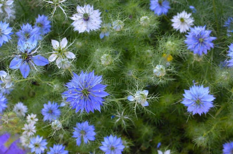Sativa Nigella - blåa och vita blommor för natur royaltyfri fotografi