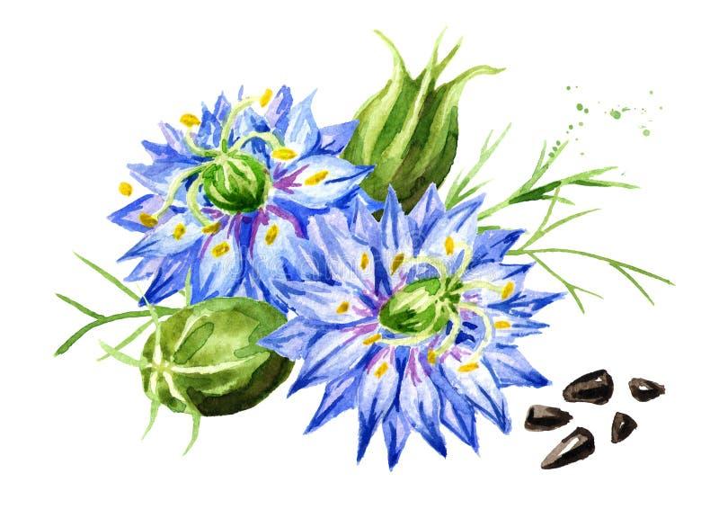 Sativa Nigella of de venkelbloem, notemuskaatbloem, Roman koriander, zwarte komijn, zwarte sesam, blackseed, zwarte karwij, Buniu royalty-vrije illustratie