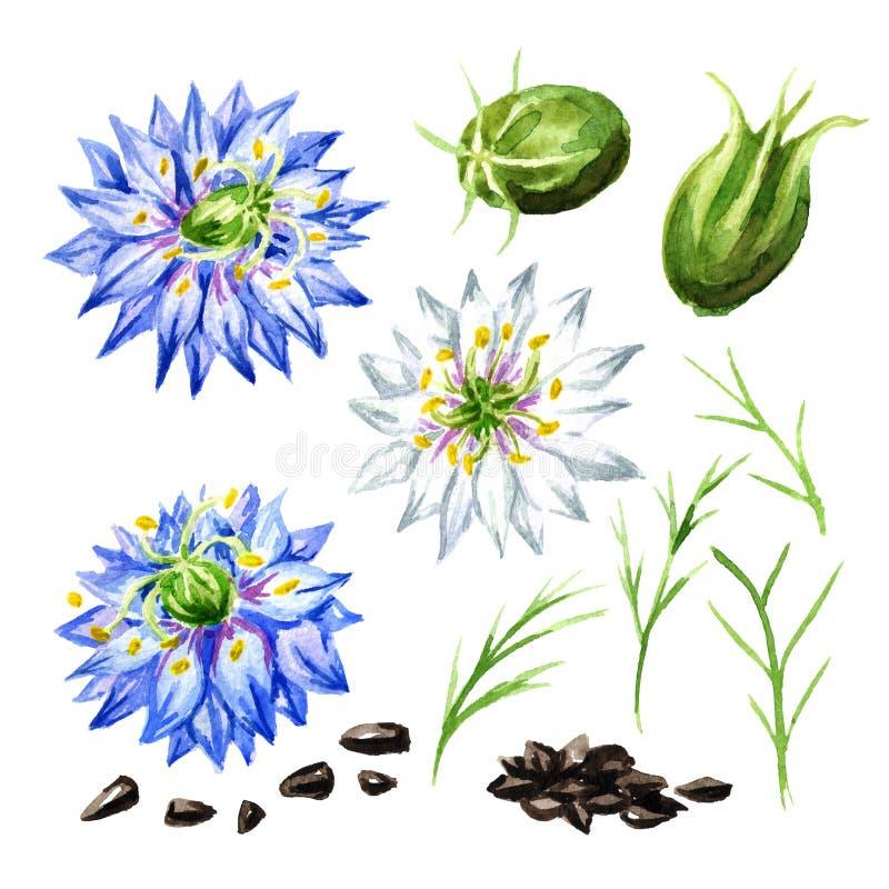 Sativa Nigella of de venkelbloem, notemuskaatbloem, Roman koriander, zwarte komijn, zwarte sesam, blackseed, zwarte karwijreeks,  royalty-vrije illustratie