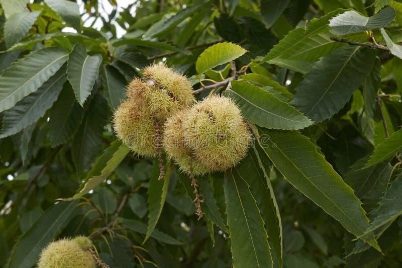 Sativa träd för Castanea royaltyfri fotografi