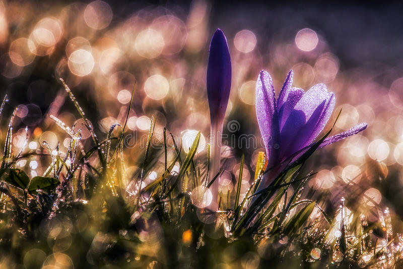 sativus的番红花 免版税图库摄影