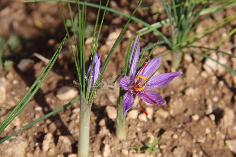 Sativus krokus, het profiel van de bloem stock afbeelding