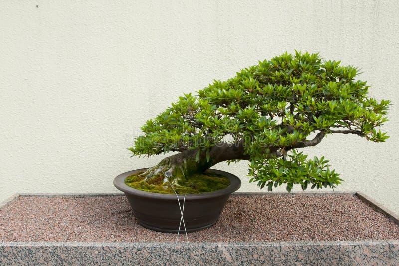 Satsuki Azalea Bonsai Tree foto de archivo libre de regalías