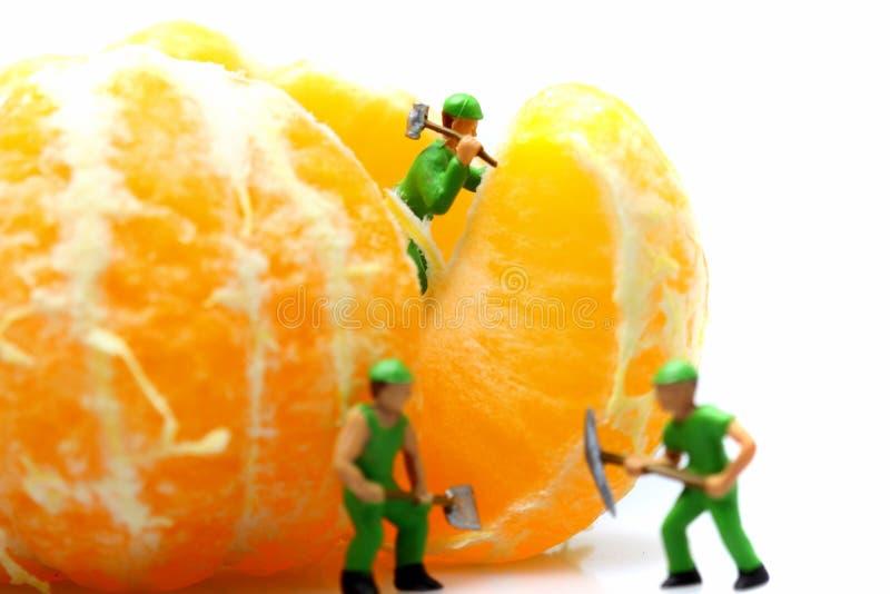 Satsuma miniatura del mandarino dei lavoratori immagine stock libera da diritti