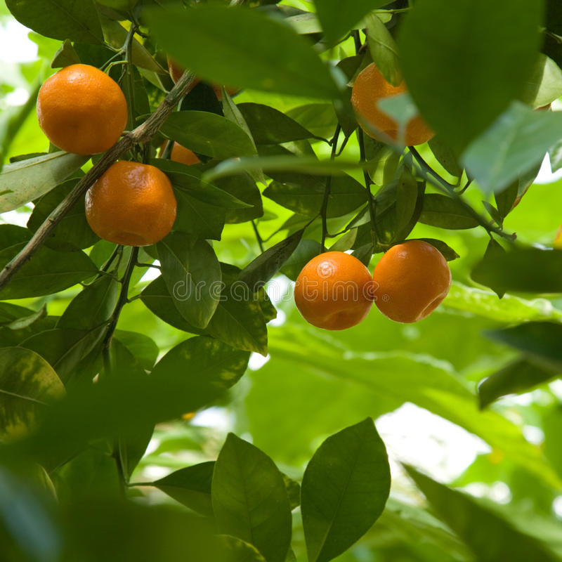 Download Satsumas stock image. Image of fresh, branches, small - 10885541