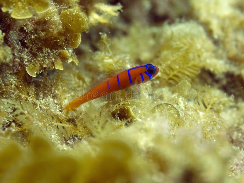 satt band blå ö för calicatalina goby royaltyfri fotografi