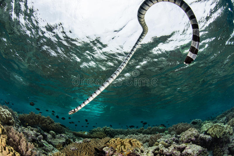 Satt band hav Krait som simmar över reven royaltyfri bild