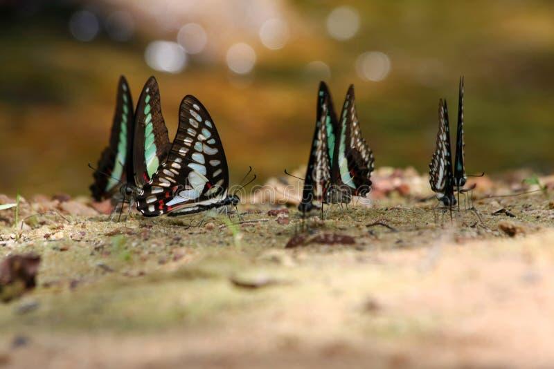 Satt band sugande mat för swallowtailfjäril (den Papilio demolionen) royaltyfria bilder