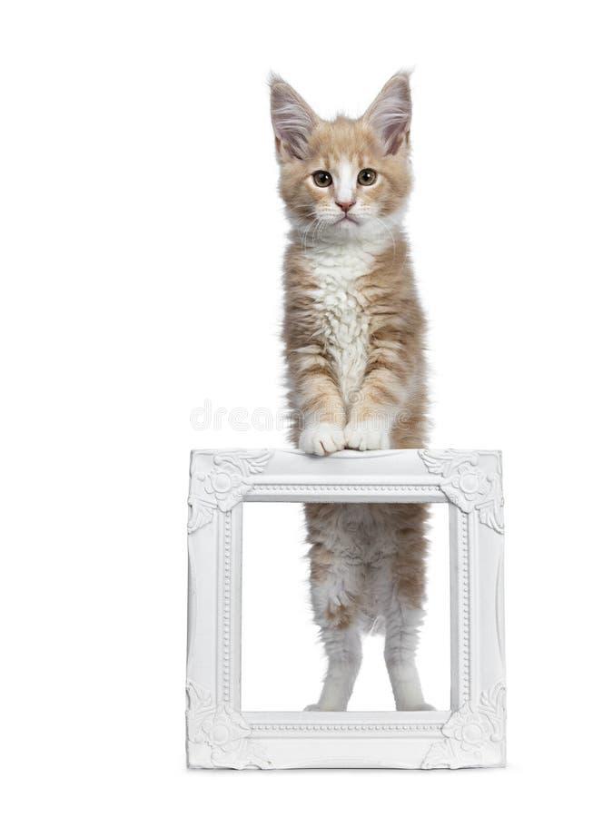 Satt en klocka på gullig kräm med den vita Maine Coon kattkattungen som isoleras på vit backround royaltyfria foton