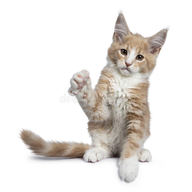 Satt en klocka på gullig kräm med den vita Maine Coon kattkattungen som isoleras på vit backround arkivfoton