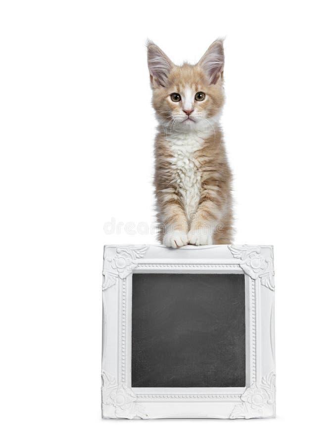 Satt en klocka på gullig kräm med den vita Maine Coon kattkattungen, på vit backround arkivfoto