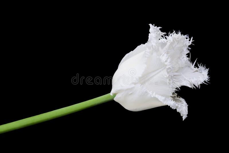 satt fransar på bröllopsresatulpanwhite royaltyfria foton