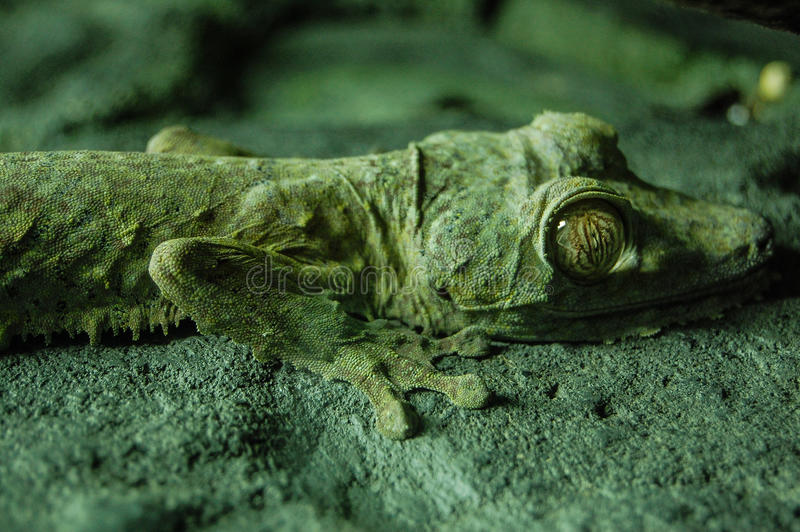 Satt fransar på gecko i akvarium royaltyfria bilder