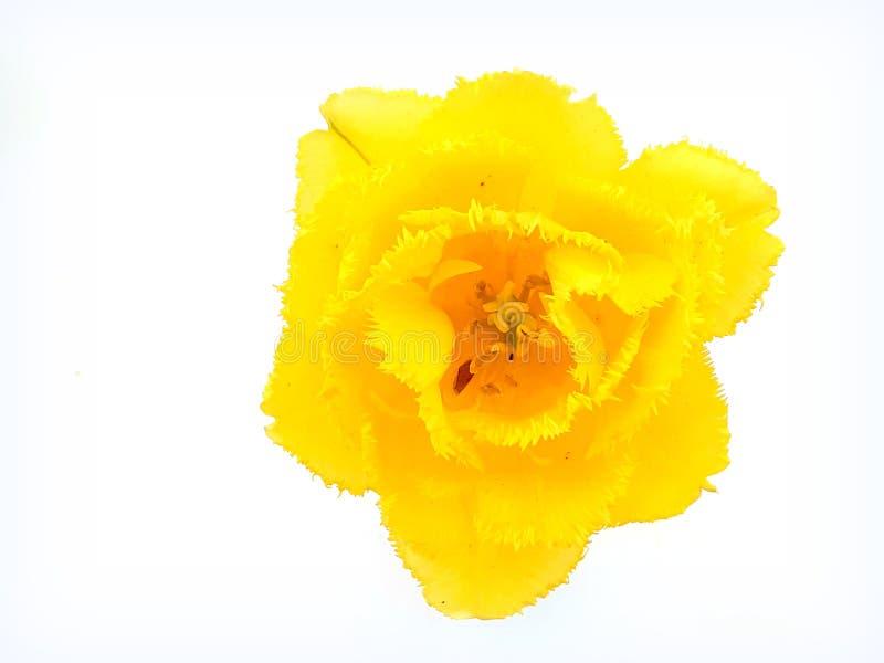 Satt fransar på gul tulpan för frotté på en isolerad bakgrund royaltyfria bilder