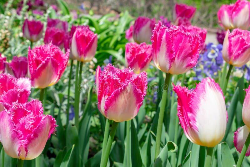 Satte fransar på rosa tulpan i vår royaltyfri fotografi