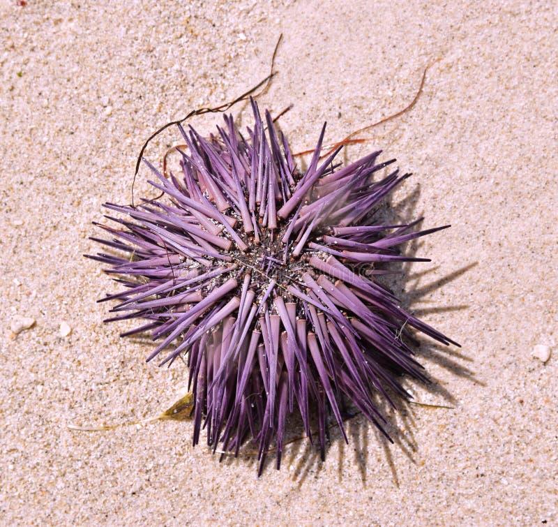 Satte på land nya purpurfärgade Violet Sea Urchin som torkar upp på sand