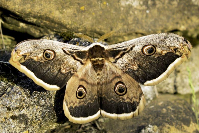 Saturnia pyri moth royalty free stock images