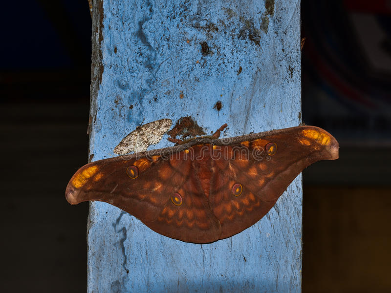 Saturniidae Butterfly sitting on a wooden post Sumatra, Indonesia stock images