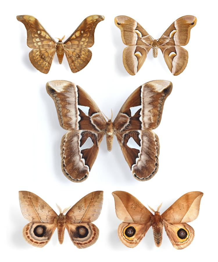 Saturniidae, traças de seda (painel) imagem de stock