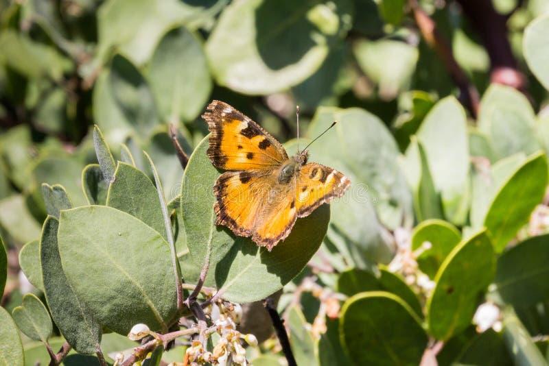Satyrus отдыхая на листьях дерева manzanita, Калифорния Polygonia бабочки запятой сатира стоковое изображение rf