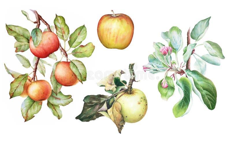 Satz der Apfelbaumaste mit Früchten lizenzfreie abbildung